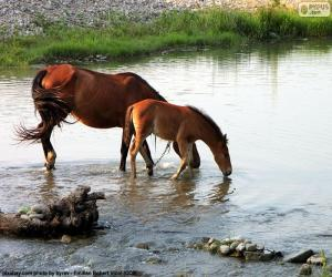 Mare and foal drinking puzzle