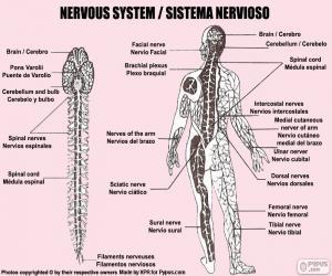 Nervous system puzzle
