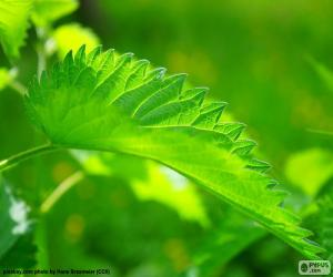 Nettle leaf puzzle