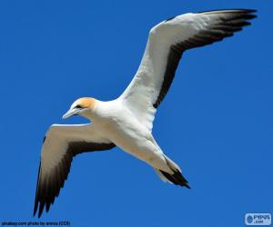 Northern gannet, flying puzzle