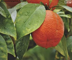 Orange in the tree puzzle