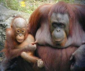 orangutan with her baby puzzle