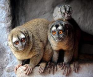 owl monkeys puzzle
