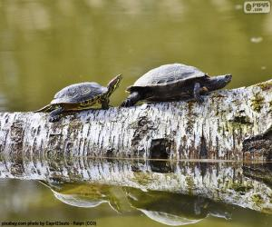 Painted turtle puzzle