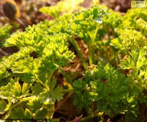 Parsley puzzle