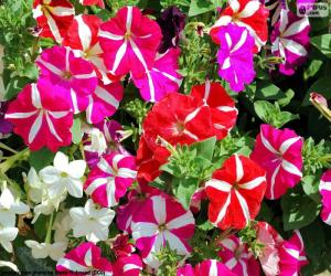 Petunia flowers puzzle