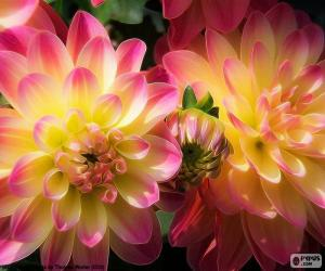 Pink and yellow Dahlia puzzle