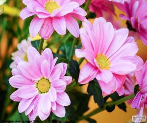 Pink daisies puzzle