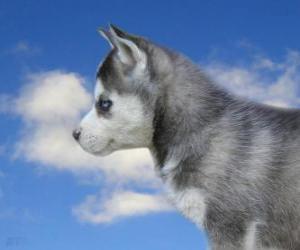Puppy, Siberian Husky puzzle