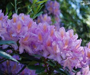 Purple flowers of azalea puzzle