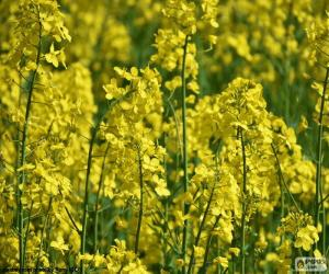 Rapeseed puzzle