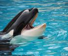 Orca with the mouth open