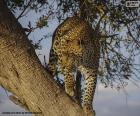 Leopard on the branch of a tree