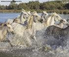 Herd of wild horses through the water