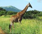 Wild giraffe on the African savannah