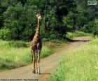 Giraffe on the path
