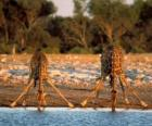 Two giraffes, drinking at a pond in the savannah