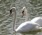Swans swimming calmly