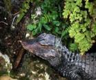 Head of a crocodile lying in wait for a prey among plants