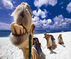 The camels of the Three Kings resting on their way to Bethlehem