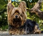 Terrier dog with long hair