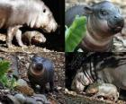 Pygmy hippo at Taronga Zoo