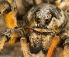 A tarantula, a large spider with long legs full of hairs