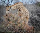 Giraffe eating shrubs