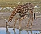 giraffe drinking at a pond