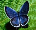 blue butterfly with wings wide open