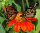 two beautiful butterflies face to face