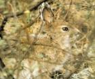 The brush rabbit