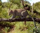 Jaguar on a tree branch