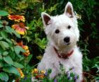 The West Highland White Terrier, commonly known as the Westie, is a breed of dog with a distinctive white coat
