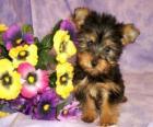 Australian Silky Terrier Puppy