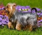 Australian Silky Terrier is a small breed of dog of the terrier dog type. The breed was developed in Australia