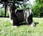 The Tibetan Terrier is not a member of the terrier group
