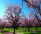 Flowering almond trees in spring