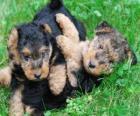 Welsh Terrier puppy