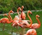 Flamingos in the water, big aquatic birds with pink plumage