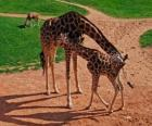 Adult Giraffe and baby giraffe