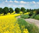 Landscape of fields of rapeseed in Brazil
