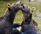 Two young bears, playing in the water