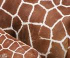 The skin of giraffes, each one has its pattern of spots vary in size, shape and color