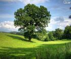 A large oak in a field of grass