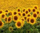 Sunflowers in the field