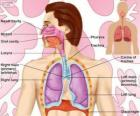 The Respiratory System (English)