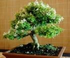 Bonsai tree, miniature tree in a tray following the Japanese art of bonsai
