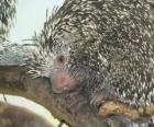 The Brazilian porcupine