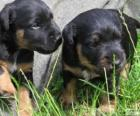 Jagdterrier puppies